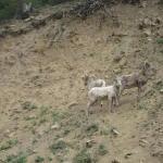 mountain_goats