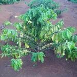 5_coffee_plant.jpg