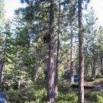 2_bear_15ft_up_tree.jpg