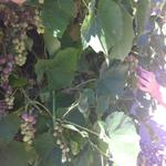 clarkson_grapes