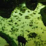 water_buffalo.jpg