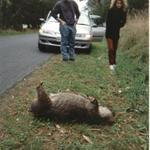 3_dead_wombat.jpg